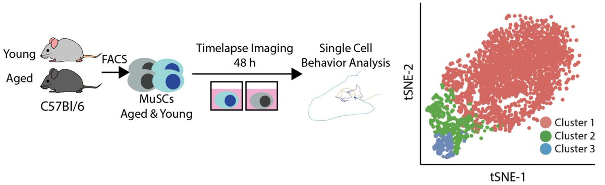 Experimental schematic of our cell behavior experiment. Young and aged MuSCs were imaged by timelapse microscopy for 48 hours and Heteromotility was used to featurize behaviors.