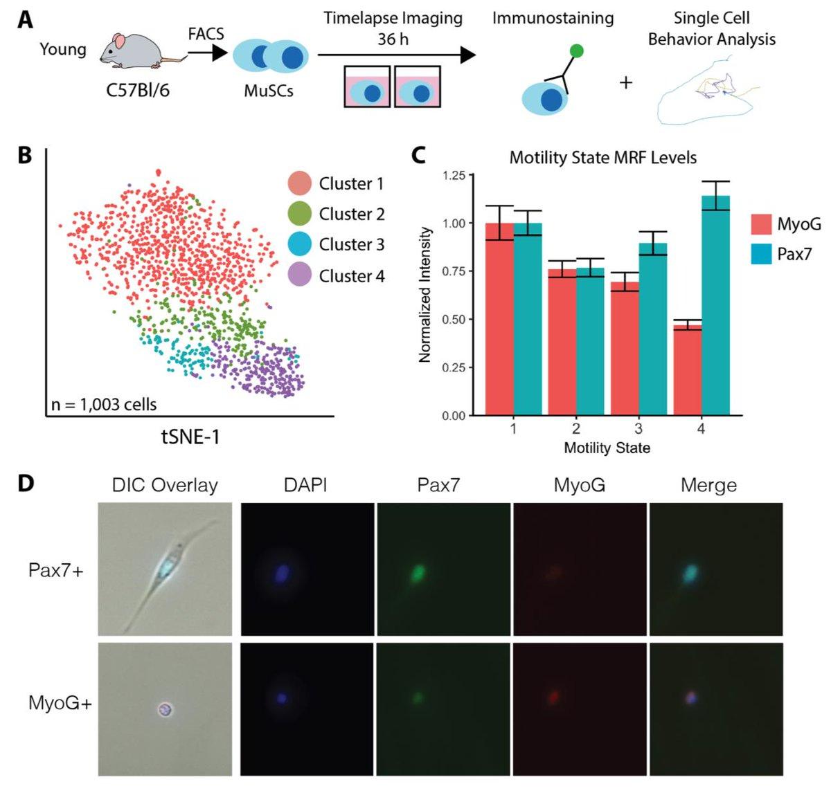 Cell behaviors paired to immunohistochemistry.