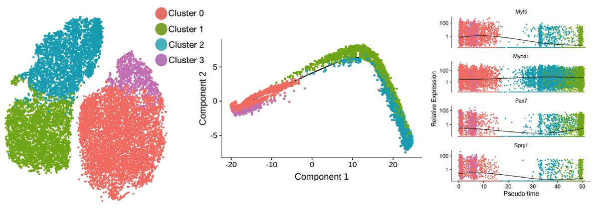 A pseudotime trajectory fit to our single cell RNA sequencing data.