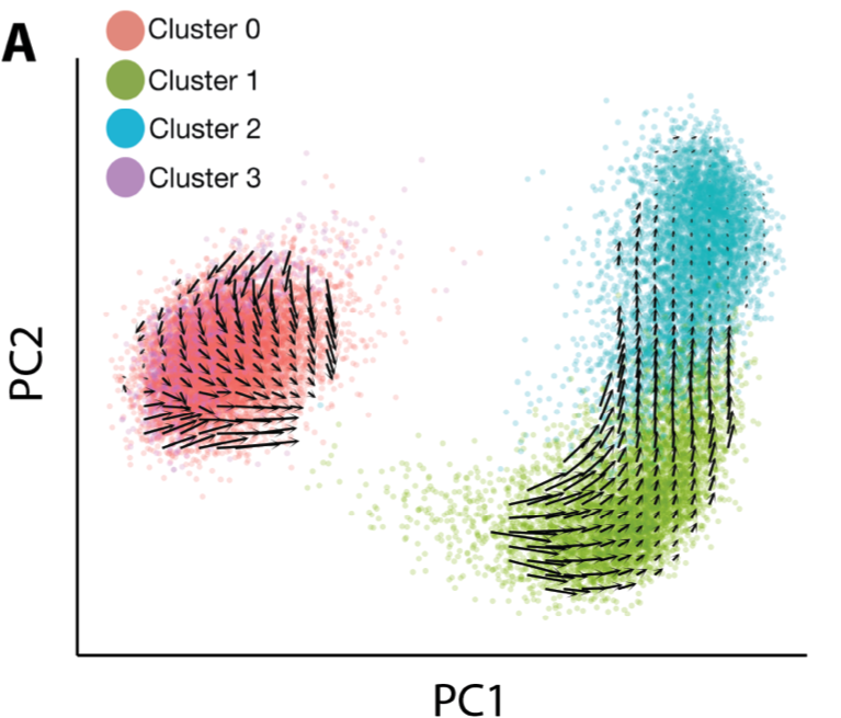 RNA velocity vectors projected atop a PCA projection of our single cell RNA sequencing data.